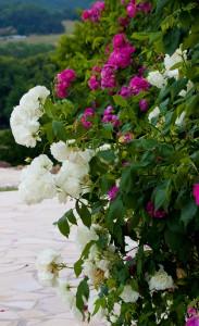 rozen tegen huis